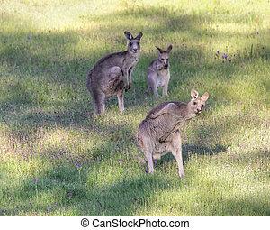 känguru, byst, a, flyttning