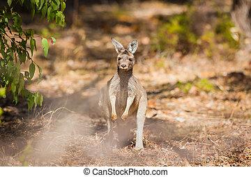 känguru, in, australien