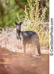 känguru, in, busken