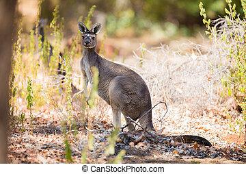 känguru, in, den, veder