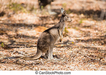 känguru, in, den, vild