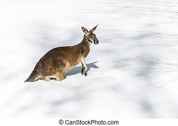 känguru, leka, in, den, snö