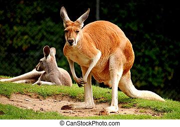 känguru, röd