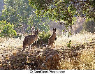 kängurur, hos, soluppgång