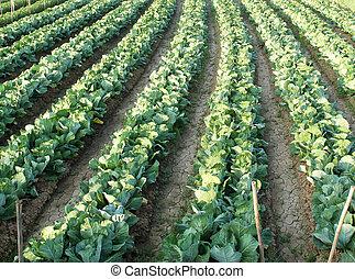 kål, fält, lantbruk, in, thailand