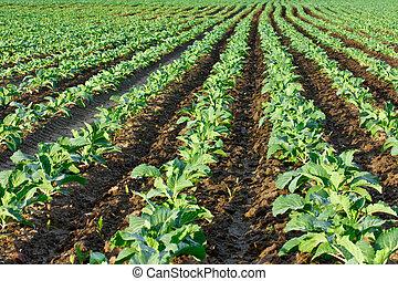 kål, kimplanter, felt