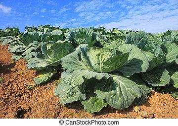 kål, lantbruk, fält