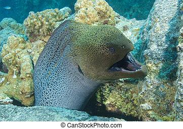 kæmpe, ål moray, viser, defensiv, opførsel