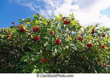 kék, érett, rózsa, ég, kutya, ellen, bokor, gyümölcs