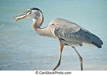 kék, nagy, étkezési, fish, kócsag, florida, tengerpart