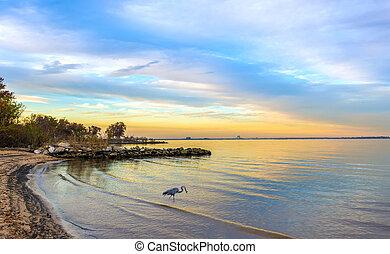 kék, nagy, chesapeake, kócsag, öböl, naplemente tengerpart