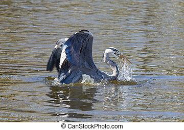 kék, nagy kócsag, dárdázik, fish
