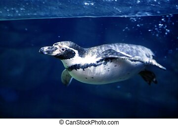 kék, víz alatti, pingvin, úszás, alatt víz, felszín, egyenes, természet