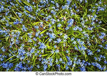 kék, visszaugrik virág, glory-of-the-snow