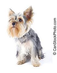 kép, closeup, felett, terrier, yorkshire, fehér