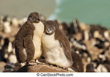 két, fiatalkori, rockhopper, pingvin, álló, képben látható, egy, megkövez