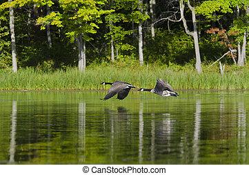 két, libák, repülés, képben látható, a, tó