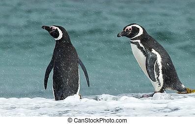 két, magellanic, pingvin, álló, képben látható, egy, óceán, lesiklik, közben, a, eső
