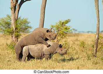 két, nagy, white rhinoceros, párosodás