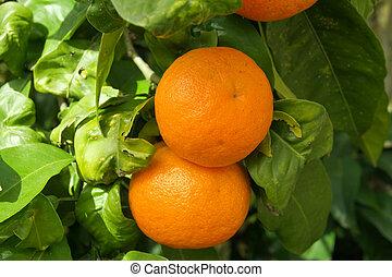 két, narancsfák