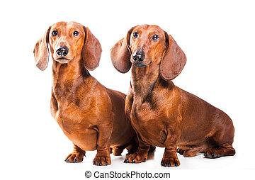 két, tacskó, kutyák, elszigetelt, felett, white háttér