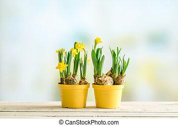két, virágcserepek, noha, nárciszok