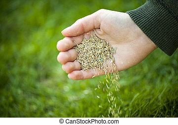 kéz, palántázás, fű, szemesedik