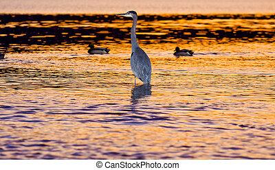 kócsag, madár, -ban, napnyugta, a vízben