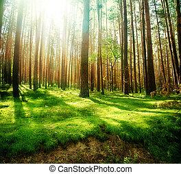ködös, öreg, erdő