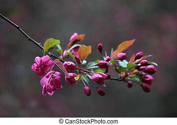 körsbär, blomning