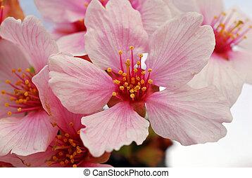 körsbär, blomningen