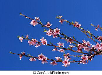körsbär blomstra, grenverk