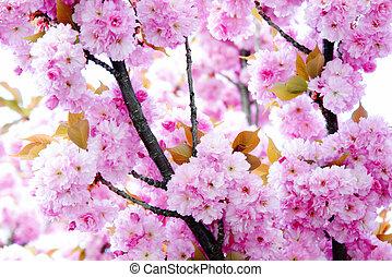 körsbär blomstra