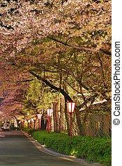 körsbär blomstrar, längs, a, väg