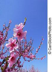 körsbär blomstrar, med, blåttsky