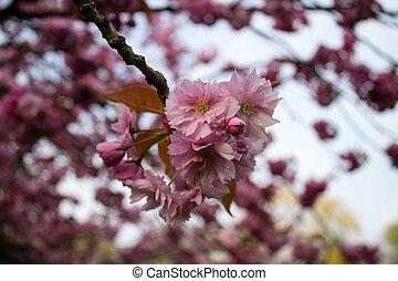 körsbär blomstrar