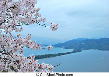 körsbär blomstrar, under, fjäder