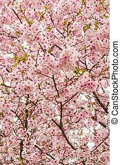 körsbär blomstring träd