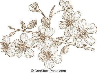 körsbär, illustration, blomstringar