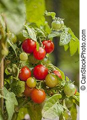 körsbär, organisk, tomaten