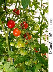 körsbär tomater, växande, på, den, vin