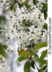 körsbär träd