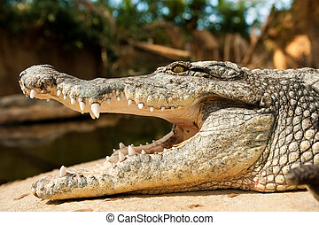közelkép, közül, egy, krokodil