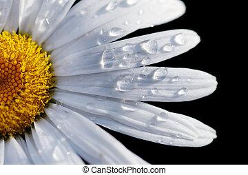 közelkép, virág, dof, makro, sekély, elszigetelt, összpontosít, víz, drops., százszorszép, black.