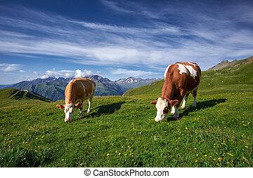 køer, græsning, på, en, eng