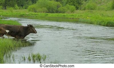 kühe, überfahrt, fluß