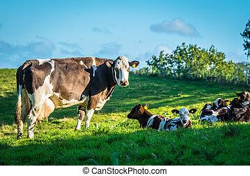 kühe, auf, a, grünes gras, wiese