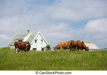 kühe, auf, a, weide