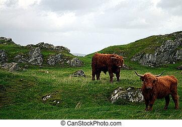 kühe, auf, a, weide, in, norwegen