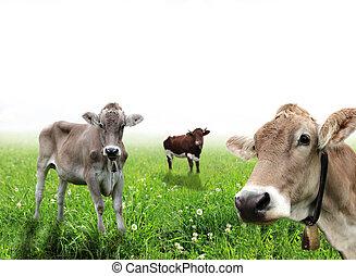kühe, auf, a, wiese